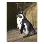 Pingüinos africanos invitaciones personales