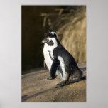 Pingüinos africanos poster