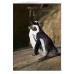 Pingüinos africanos tarjetón