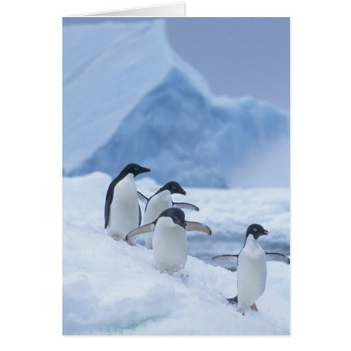 Pingüinos de Adelie (adeliae del Pygoscelis) en el Tarjeta De Felicitación