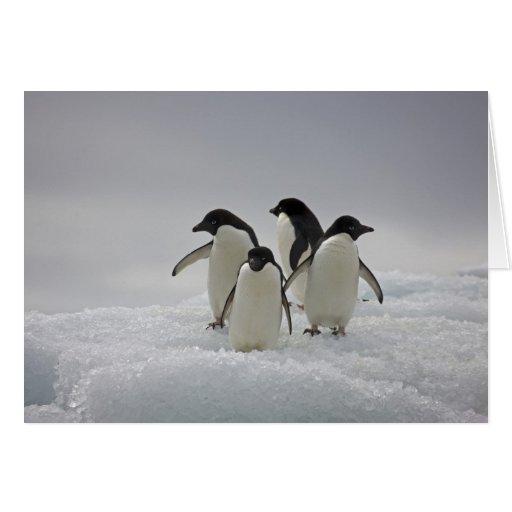 Pingüinos de Adelie en flujos del hielo Tarjetas