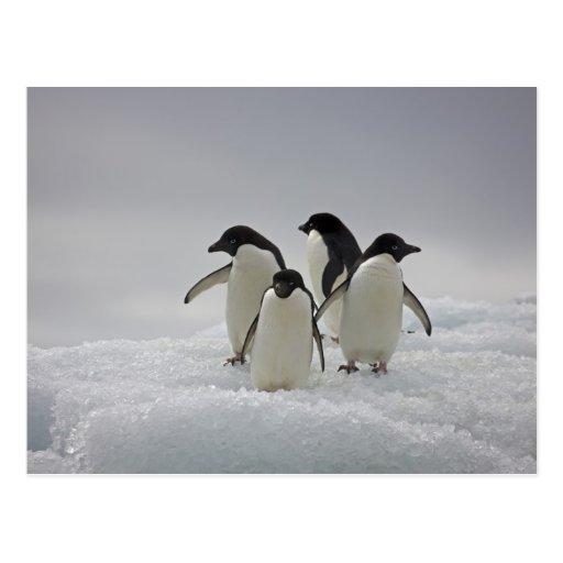Pingüinos de Adelie en flujos del hielo Postales