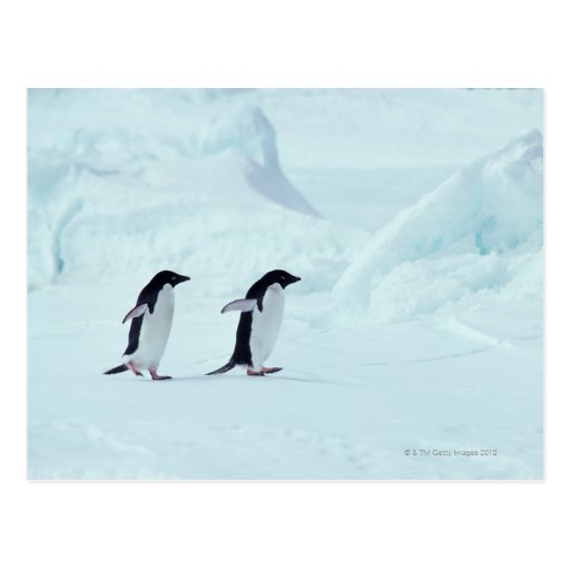 Pingüinos de Adelie, la Antártida Postales