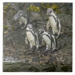 Pingüinos de Chile, isla de Chiloe, Humboldt, Azulejo Cuadrado Grande
