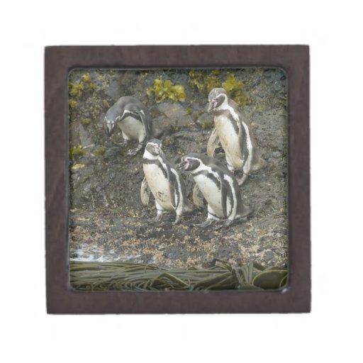 Pingüinos de Chile, isla de Chiloe, Humboldt, Caja De Joyas De Calidad