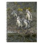 Pingüinos de Chile, isla de Chiloe, Humboldt, Cuaderno