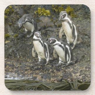 Pingüinos de Chile, isla de Chiloe, Humboldt, Posavasos De Bebida