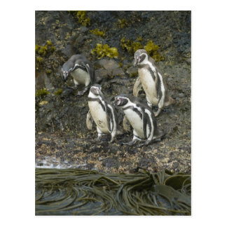 Pingüinos de Chile, isla de Chiloe, Humboldt, Postal