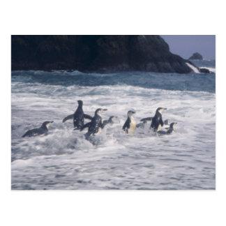 Pingüinos de Chinstrap en la resaca de la playa Postal