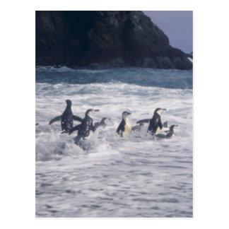 Pingüinos de Chinstrap en la resaca de la playa Tarjeta Postal