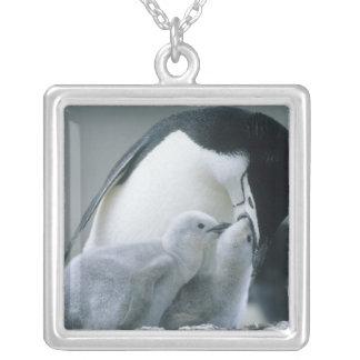 Pingüinos de Chinstrap, Pygoscelis la Antártida), Collares Personalizados