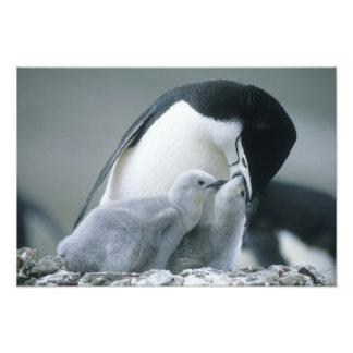Pingüinos de Chinstrap Pygoscelis la Antártida Arte Fotografico