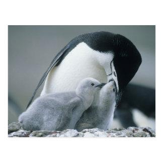 Pingüinos de Chinstrap, Pygoscelis la Antártida), Postal