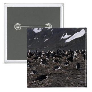 Pingüinos de Chinstrap que jerarquizan a la coloni