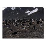 Pingüinos de Chinstrap que jerarquizan a la coloni Postal