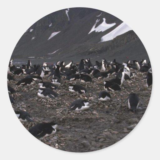 Pingüinos de Chinstrap que jerarquizan a la Pegatina Redonda