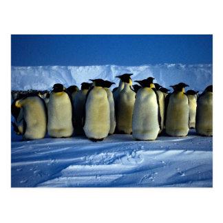 Pingüinos de emperador por claro de luna tarjetas postales