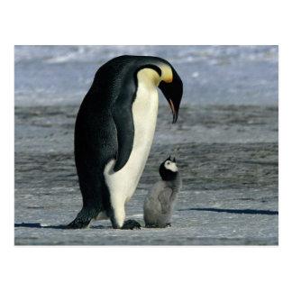 Pingüinos de emperador postales