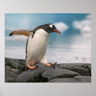 Pingüinos de Gentoo en línea de la playa rocosa co Póster