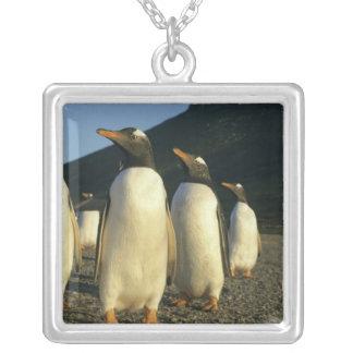 Pingüinos de Gentoo, Pygoscelis Papua), puesta del Collares