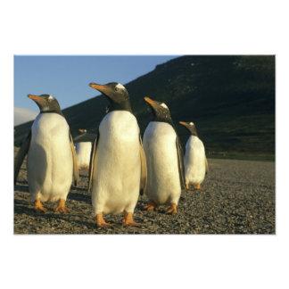Pingüinos de Gentoo, Pygoscelis Papua), puesta del Cojinete