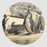 Pingüinos de Humboldt Pegatina Redonda