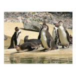 Pingüinos de Humboldt Postal