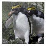 Pingüinos de los macarrones, Georgia del sur Azulejo Cuadrado Grande