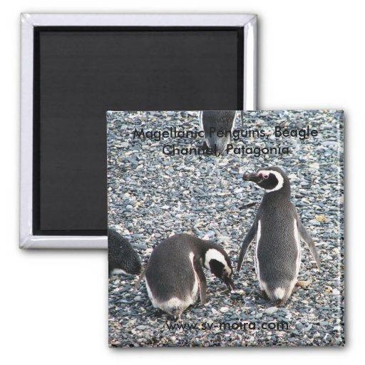 Pingüinos de Magellanic, canal del beagle, Patagon Imán Cuadrado