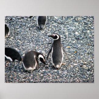 Pingüinos de Magellanic, canal del beagle, Patagon Póster