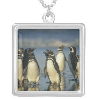 Pingüinos de Magellanic, Spheniscus Joyeria