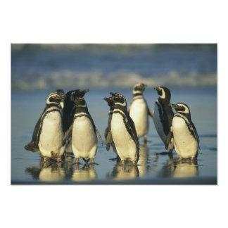 Pingüinos de Magellanic, Spheniscus Arte Con Fotos