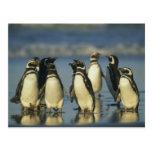 Pingüinos de Magellanic, Spheniscus Postales