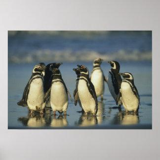 Pingüinos de Magellanic, Spheniscus Póster