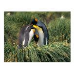 Pingüinos de rey nuzzling tarjeta postal
