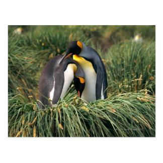 Pingüinos de rey nuzzling postal