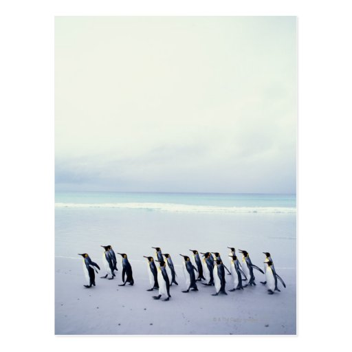 Pingüinos de rey (patagonicus del Aptenodytes) Postales