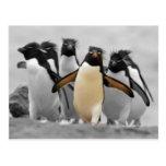 Pingüinos de Rockhopper Postales