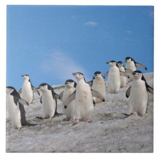 pingüinos del chinstrap, Pygoscelis la Antártida, Azulejo Cuadrado Grande