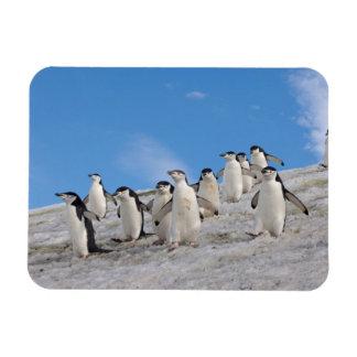 pingüinos del chinstrap Pygoscelis la Antártida Imanes De Vinilo
