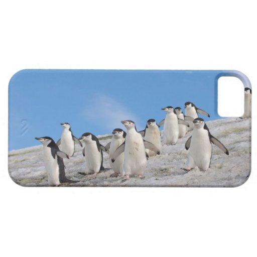 pingüinos del chinstrap, Pygoscelis la Antártida, iPhone 5 Carcasa