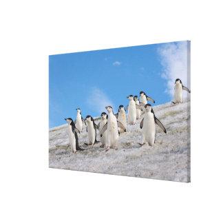 pingüinos del chinstrap Pygoscelis la Antártida Lona Envuelta Para Galerias