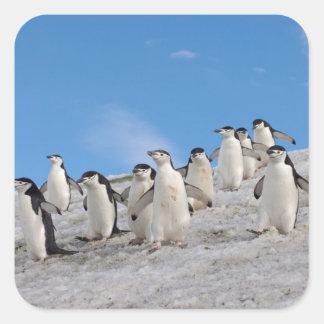 pingüinos del chinstrap, Pygoscelis la Antártida, Etiquetas