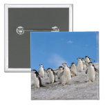 pingüinos del chinstrap, Pygoscelis la Antártida, Pin Cuadrada 5 Cm