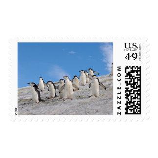 pingüinos del chinstrap, Pygoscelis la Antártida, Sello