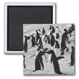 Pingüinos en el juego imán cuadrado