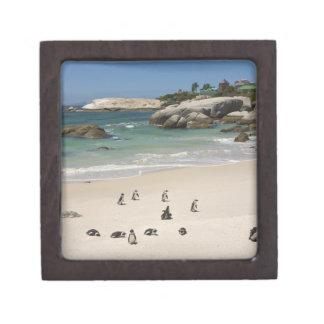 Pingüinos en la playa de los cantos rodados, ciuda caja de regalo de calidad