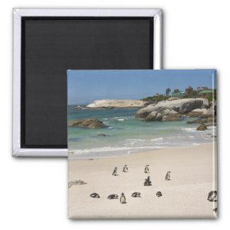 Pingüinos en la playa de los cantos rodados, ciuda imanes
