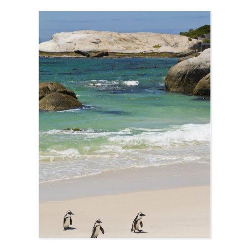 Pingüinos en la playa de los cantos rodados, ciuda postales