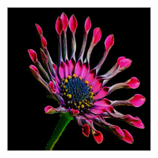 Pink African Daisy Against Black Poster